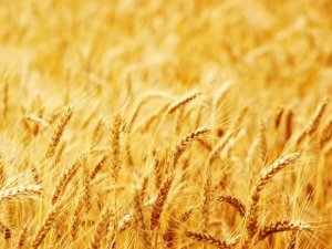 """""""Çiftçi buğday üretemezse Türkiye sıkıntıya girer"""""""