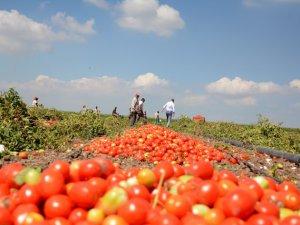 Bu gübre Çöl'de domates yetişmesini sağlıyor!