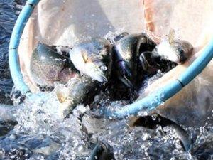 2018'de ihraç edilen alabalığın yarısı Muğla'dan karşılandı