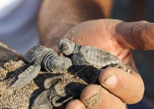 Deniz kaplumbağaları Türkiye'yi seviyor!