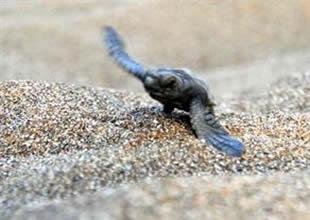 Yavru carettalar hemen denize koştu