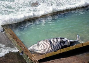 Avustralya'da kambur balina karaya vurdu