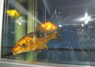İznik Gölü'nde Japon balığı koi yakalandı