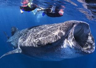 Yaşayan en büyük balık: Balina köpekbalığı