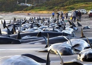Faroe Adaları'nda yine balina katliamı