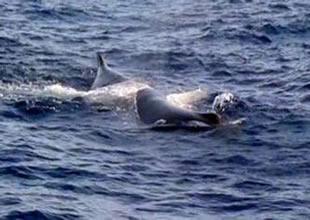 Denizaltı sandılar balina çıktı