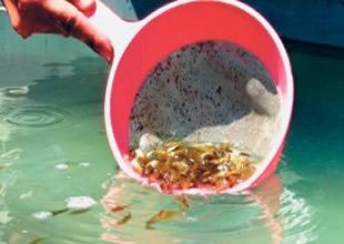3,5 milyon yavru balık göllere bırakıldı