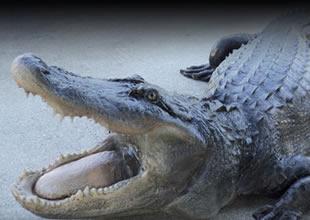 Kafesinden kaçan timsah görevlileri korkuttu