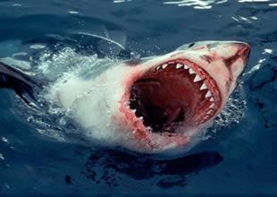 Köpekbalıkları da insanlar gibi 'görebiliyor'