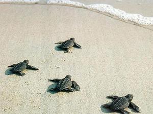 Fethiye'de 2 bin caretta caretta yavrusu denizle buluştu