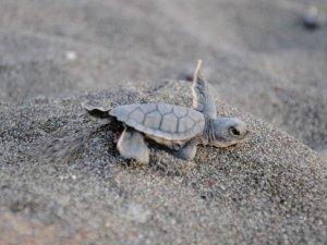 Mersin'de 20 bin yavru deniz kaplumbağası Akdeniz'e kulaç attı
