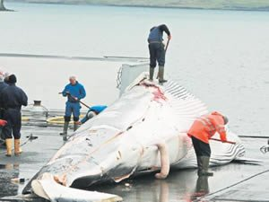 İzlanda'da 184 balina katledildi