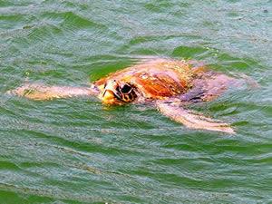 'Kaplumbağalar ile yüzüyoruz' yarışları İztuzu'nda yapılacak